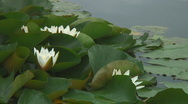 Water Lilies sequence Stock Footage
