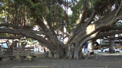Historic banyan tree in Lahaina Stock Footage