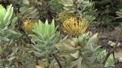 Maui Protea plant  Stock Footage