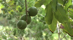 Round green tropical macadamia nuts  Stock Footage