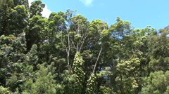 Tops of rainforest trees  Stock Footage