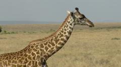 Giraffes savana P5 - stock footage