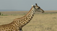 Stock Video Footage of Giraffes savana P5