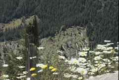 Mt St Helens daisies & dead trees Stock Footage
