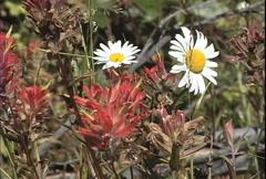 Mt St Helens wild flowers Stock Footage