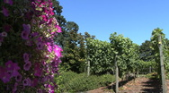 Stock Video Footage of OR vineyard 4
