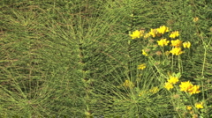 Horsetails and yellow flowers Stock Footage