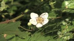 Salmonberry flower Stock Footage