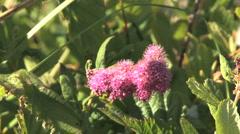 Subalpine spiria flowers Stock Footage