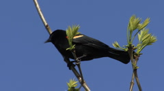 Red winged blackbird in a spring tree  - stock footage