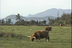 Scottish cattle Lopez island San Juan Islands 10 Stock Footage