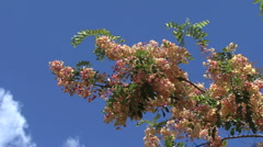 Pink Cassia flowers and blue sky  Stock Footage