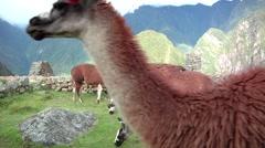 Llama group at Machu Picchu Stock Footage