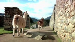 Llamas walking through Machu Picchu Stock Footage