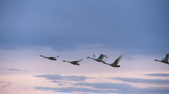 swans in flight - stock footage