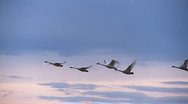 Stock Video Footage of swans in flight