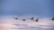 Stock Video Footage of swans in flight
