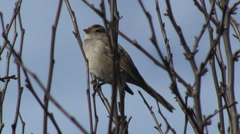 White Crowned Sparrow Perched In Thicket Stock Footage