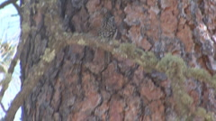 P01271 Brown Creeper Stock Footage