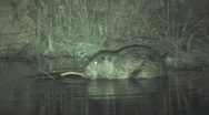 P01280 Beaver Feeding at Night Stock Footage