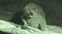 P01282 Pygmy Slow Loris Stock Footage