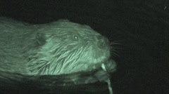 P01286 Beaver at Night Stock Footage