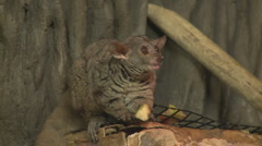 P01290 Greater Bushbaby Stock Footage