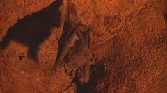 P01293 Fruit Bat in Cave Stock Footage