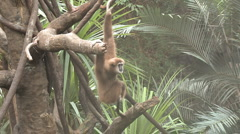P01303 Gibbon in Trees Stock Footage