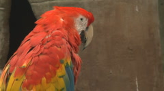 P01304 Scarlet Macaw Stock Footage
