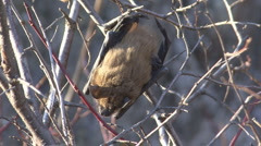 P01305 Brown Bat Hanging in Branches Stock Footage