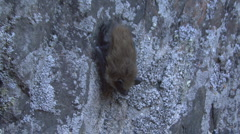 P01306 Brown Bat Calling on Rock Wall Stock Footage
