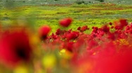 Poppy field Stock Footage