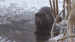P01307 Mink on Ice Stock Footage