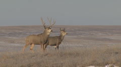 P01308 Mule Deer Buck and Doe Stock Footage
