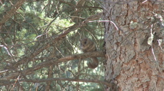 P01322 Flying Squirrel in Tree Stock Footage