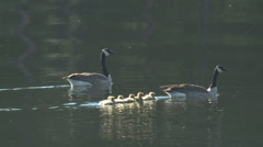 P01324 Goose Family Swimming Stock Footage