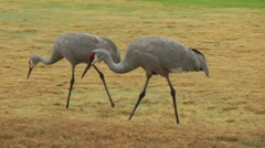 Sandhill cranes foraging - stock footage
