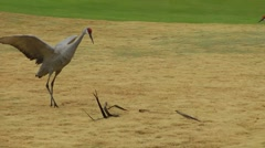 Sandhill crane fights palm frond Stock Footage