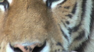 Stock Video Footage of simerian tiger is relaxing and resting,close-up