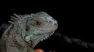 1080i animal branch camouflage chameleon close crest dangerous dinosaur dragon e Stock Footage