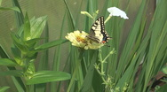 Machaon. Stock Footage