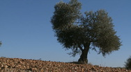 Stock Video Footage of OLIVE FIELDS 7