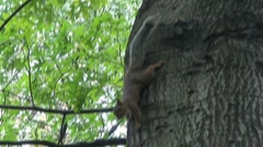 Squirrel in Central Park, NYC - stock footage