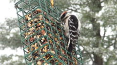 Downy woodpecker at suet feeder Stock Footage