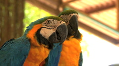 Two Colorful Parrots On Their Perch Stock Footage