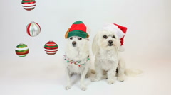 Canine Christmas Spirit Stock Footage