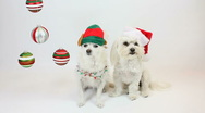 Stock Video Footage of Canine Christmas Spirit