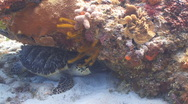 Stock Video Footage of Sea turtle hiding