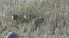 Hen Pheasants emerge from stubble. Stock Footage